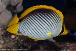 BD-100920-Fury-Shoal-1842-Chaetodon-melannotus.-Bloch---Schneider.-1801-[Blackback-butterflyfish].jpg